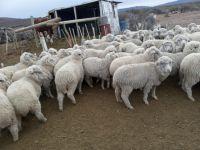 Abigeato: Robaron 300 animales y fueron detenidos cuando ya los estaban faenando