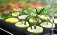 """Absolvieron en Córdoba a un productor de cannabis medicinal por """"aliviar el dolor de muchos niños y niñas"""""""