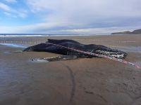 Piden no acercarse ni tocar la ballena yubarta varada frente a Ramón Santos